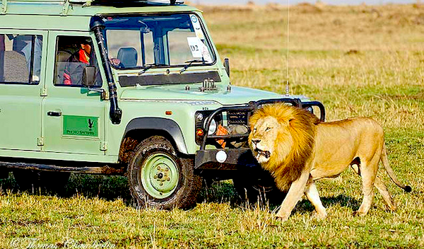 Land Rover with Lion
