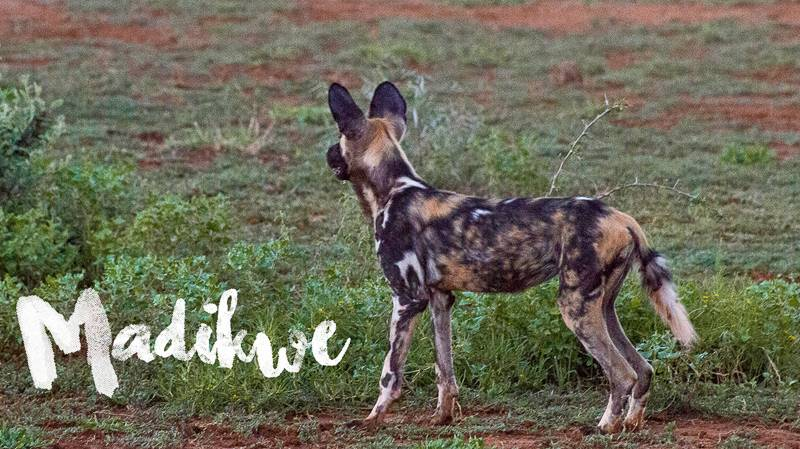Madikwe Game Reserve Vlog Series (VIDEO)